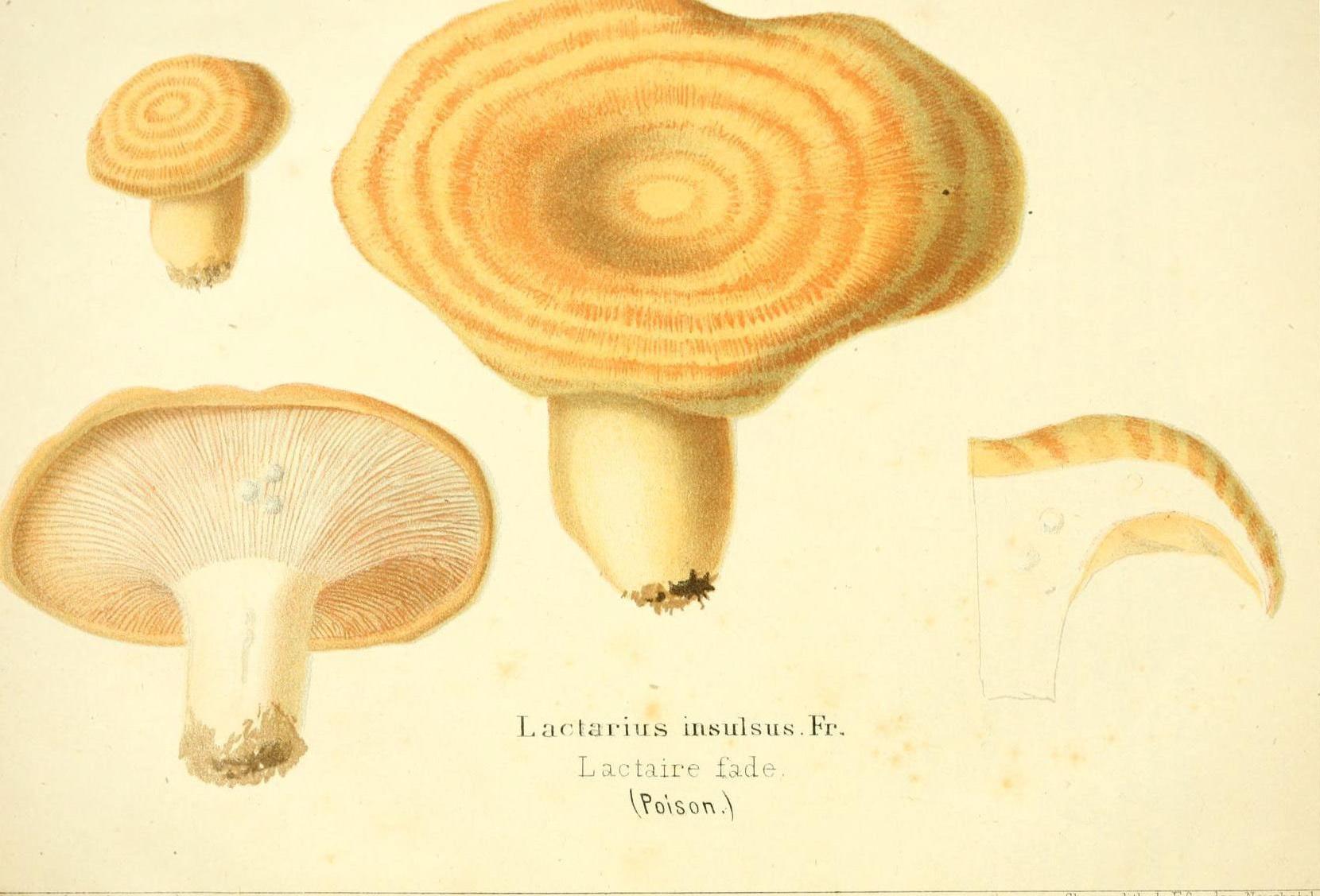 Груздь дубовый, рыжик дубовый(Lactarius insulsus)