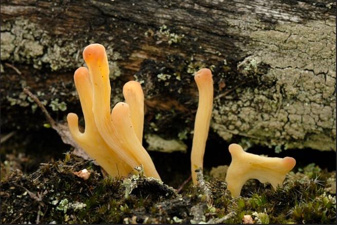 Булавка глинисто-желтая(Clavulinopsis argillacea)
